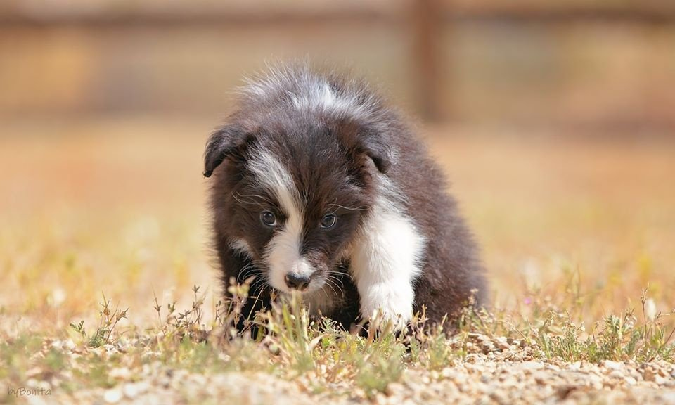 Border Collie Puppies For Sale In California Balmoral Border Collie In 2020 Collie Puppies Border Collie Puppies Border Collie