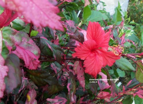 Hibiscus Plant Unusual Multi Colored Varigated Leaves Red Flowers Tropical Ebay Garden Flowers I Want To Grow Hibiscus Plant Red Flowers Plants