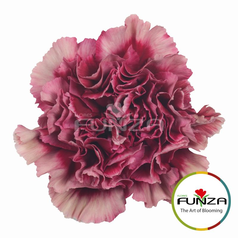 Chelo Carnation Flower Farmer Spring Wedding Flowers Carnation Colors