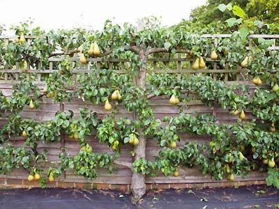 Espalier Fruit Tree Google Search Garden Services Fruit Garden Fruit Trees
