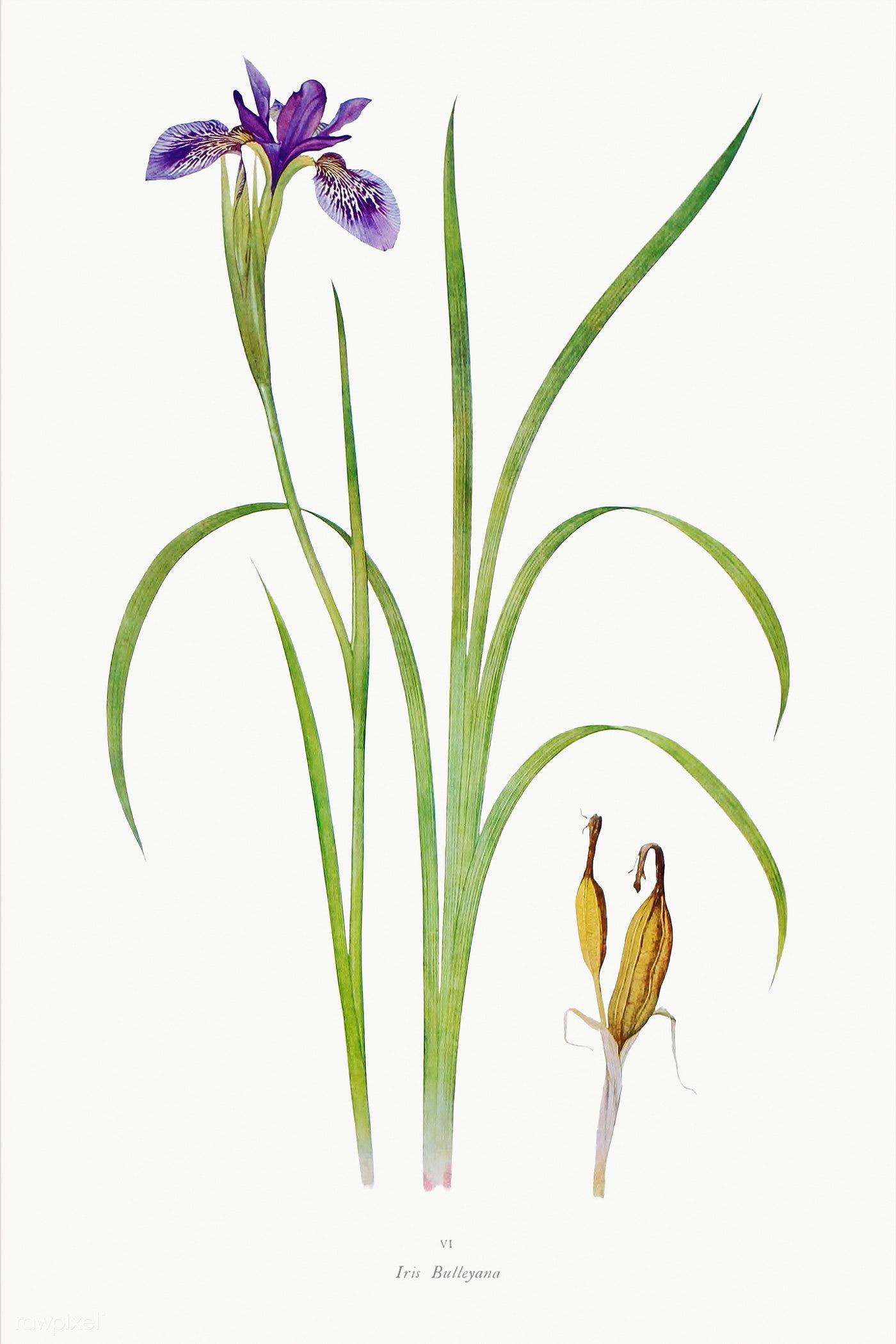 Download Premium Illustration Of Vintage Iris Flower Illustration Template In 2020 Flower Illustration Iris Flowers Plant Illustration