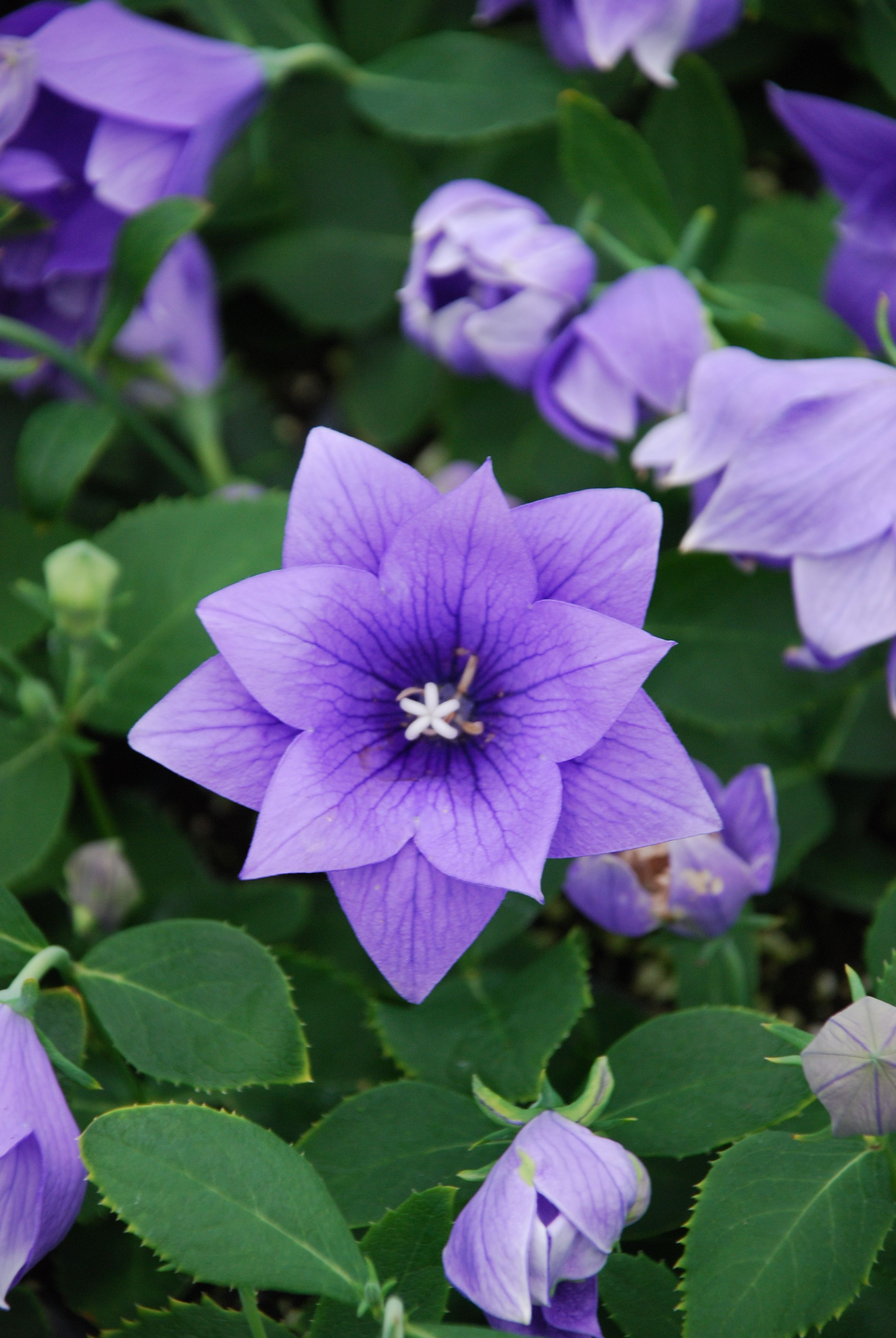 Astra Double Blue Balloon #Flower is a dwarf variety! This heavy ...