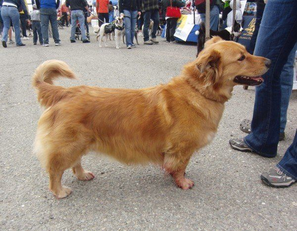 corgi golden retriever