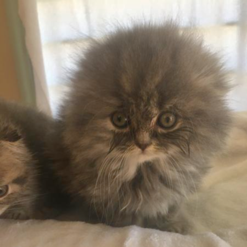 Scottish Fold Male Last One Nice Boy In 2020 Scottish Fold Cute Baby Animals Cute Cats