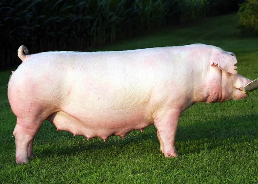 Chester White Pigs Pig Breeds White Pig Pig Farming