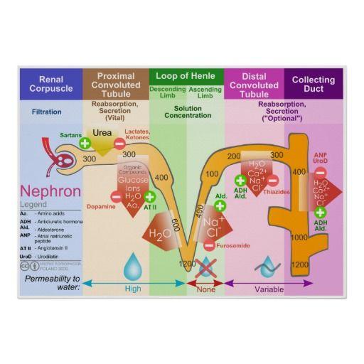 nephrons   Loop of henle, Future nurse, Duct