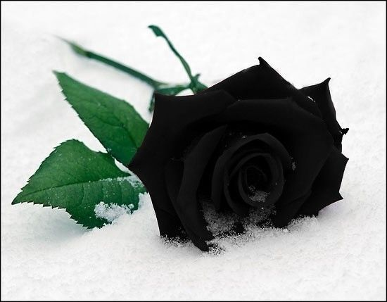 rosa fria, rosa triste, rosa dolorosa, rosa llenas de espinas, rosa negra para mi muerte.