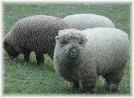 The Southdown Is A Small Dual Purpose British Sheep Raised Primarily For Meat The Southdown Breed Was Originally Bred By J Sheep Breeds Babydoll Sheep Sheep