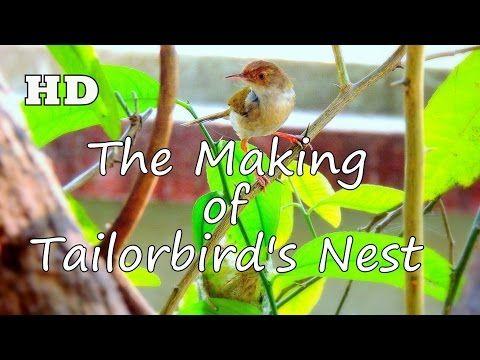 | The Making of Tailorbird's Nest | - YouTube