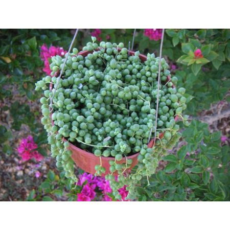 Pearl Plant Nontoxic To Petakes For A Great Hanging Pot