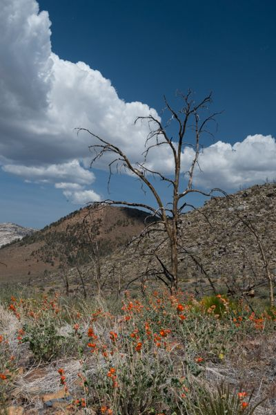 Flowers and Dead Tree - http://destination-isolation.com/breaking-trail-in-dome-land-wilderness-sequoia-national-forest/