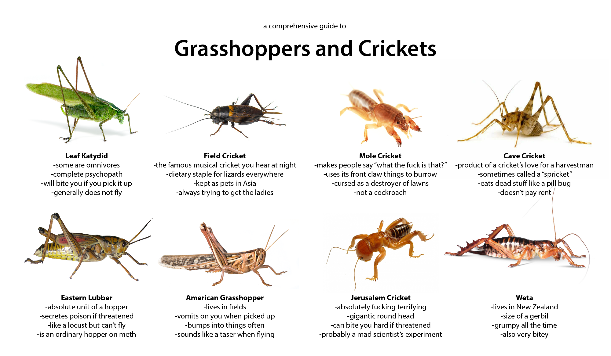 Grasshoppers And Crickets Grasshopper Cricket Bug Identification