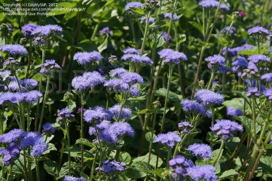 Plantfiles Pictures Floss Flower Ageratum Blue Horizon Ageratum Houstonianum By Poppysue Flowers Plants Flower Garden