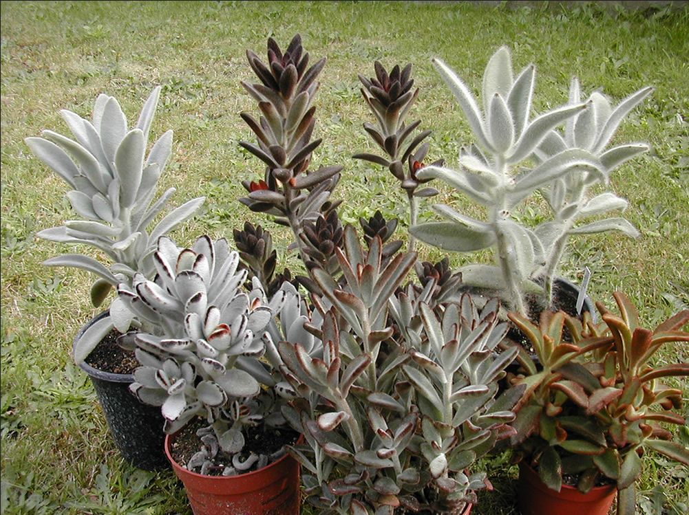 Kalanchoe Tomentosa With Images Succulents Planting