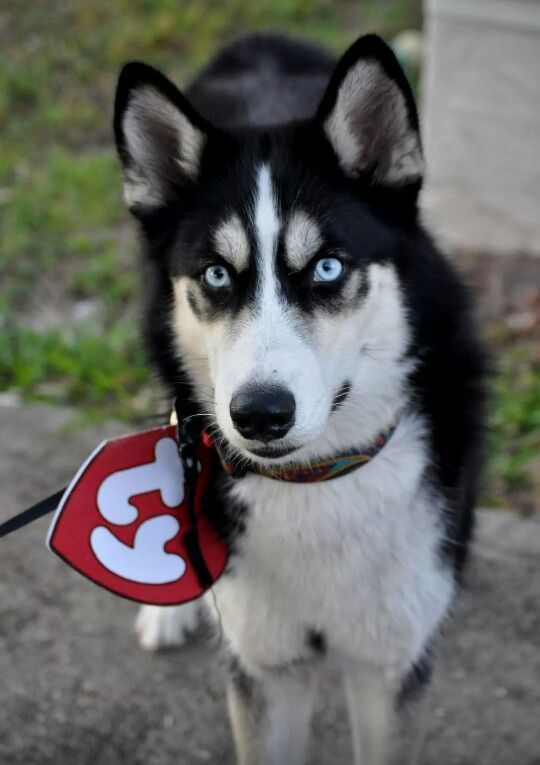 The Perfect Halloween diy beanie baby costume that I made for my Husky 4f955b4ec8d1