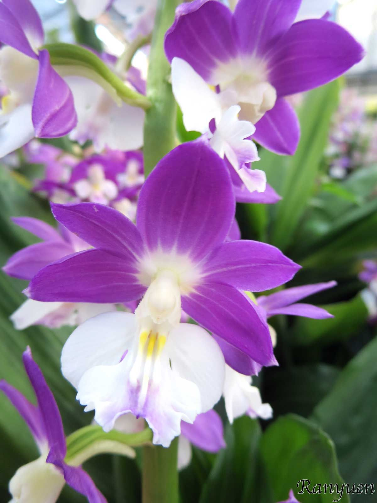 Ranyuen Orchids Pinterest Orchids Flowers And