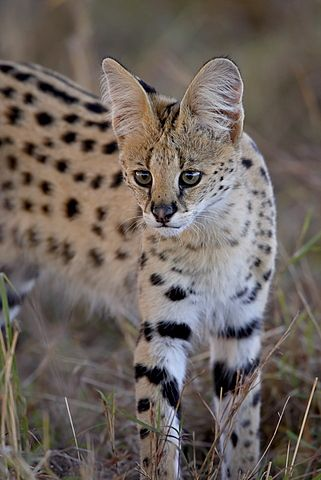 Fascinating African Wild Cats By James Hager Robertharding Com News African Wild Cat Serval Wild Cats