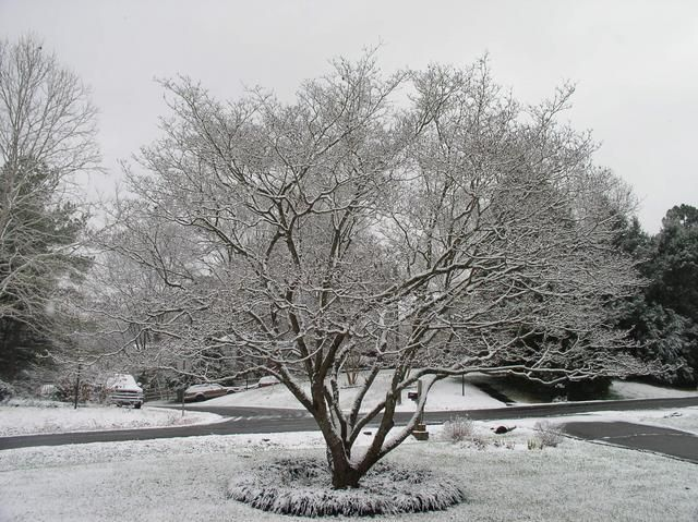 Dogwood Tree In Winter What Trees Are Typically Front Yards