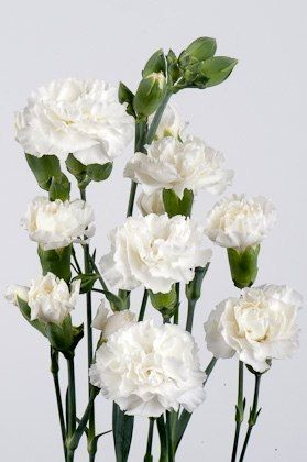 Spray Carnation Long Lasting Flowers Some More Interesting Colours Becoming Available Anniversary Flowers Long Lasting Flower Carnation Flower
