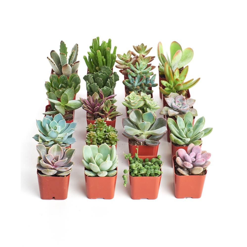 2 In Unique Succulent Collection Of 20 U20 The Home Depot Succulents Plants Planting Succulents