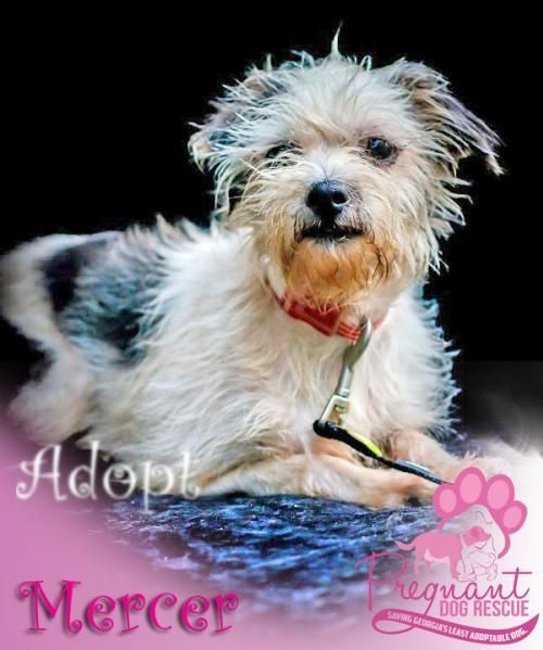 Adopt Mercer On Dogs In Need Of Homes Pregnant Dog Dogs