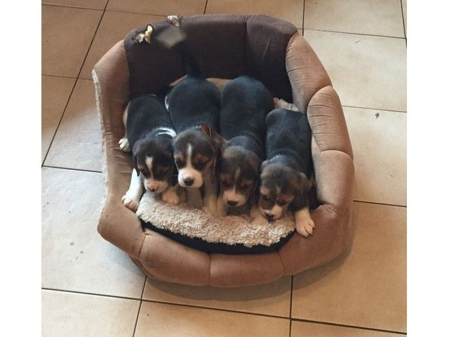 Beagle Puppies Beagle Puppy Puppies Free Puppies