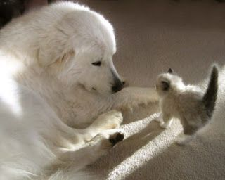 Colorado Mountain Dog With Tiny Kitten Dogs Great Pyrenees Pets
