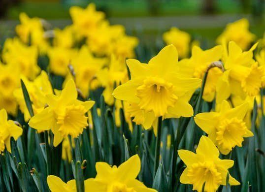 10 Foolproof Flowers Anyone Can Grow -  How to Grow Daffodils  - #anyone #Clemat... -  10 Foolproof Flowers Anyone Can Grow –  How to Grow Daffodils  – #anyone #Clemat… –  10 Foo - #anyone #clemat #Clematis #Daffodils #EnglishRoses #flowers #foolproof #Gladioli #Grow #Irises #Tulipi