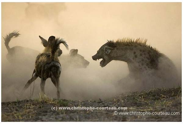 A spotted hyena fends off a pack of African Wild Dogs - photo by Christophe Courteau