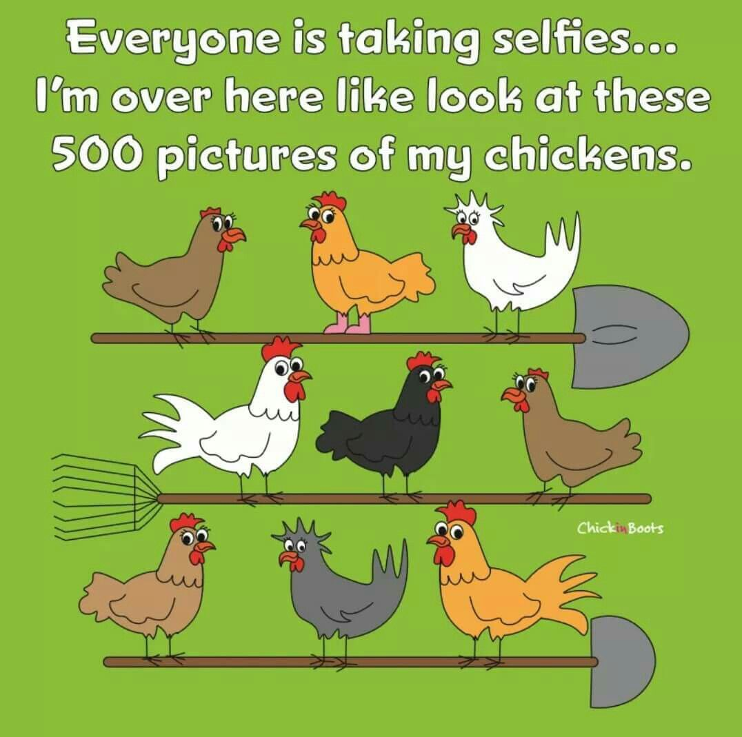 Guilty Funny Chicken Memes Chicken Humor Chickens Backyard