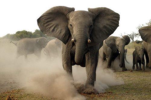 511b8d970 charging elephant