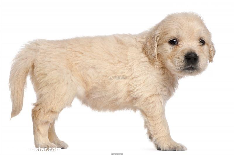 Golden Retriever puppy, 4 weeks old Poster IDF30413128