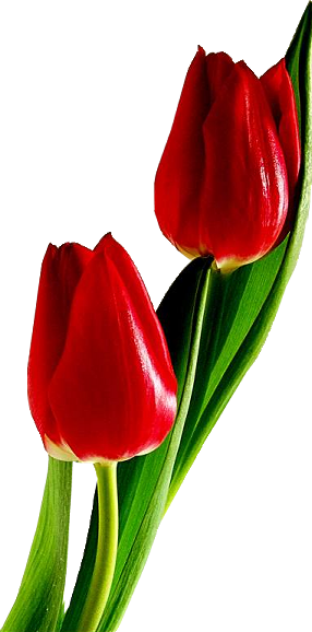 Red Tulips Png Image Red Tulips Flower Images Red Tulips Photography