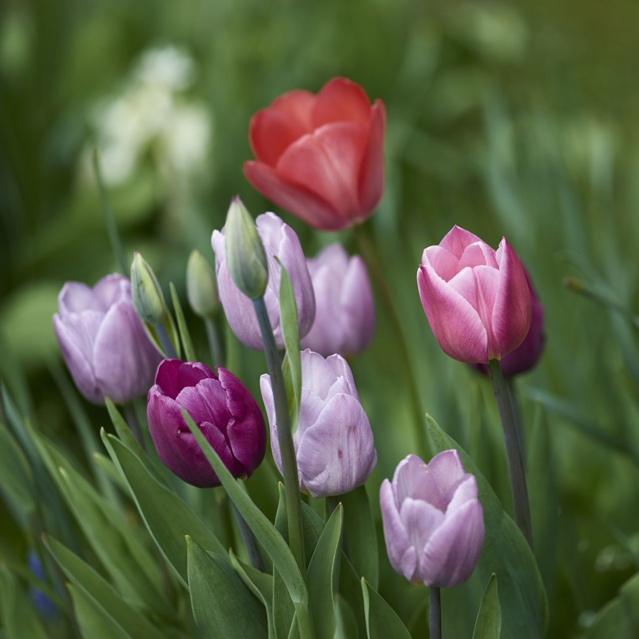 How To Care For Tulip Bulbs After Bloom To Keep Them Looking Beautiful In 2020 Tulip Bulbs Bloom Indoor Flowers