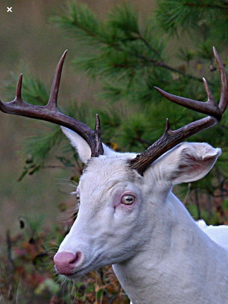Albino Deer Look At These Magic Eyes Albino Animals Albino Deer Rare Animals