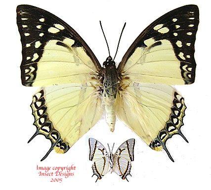 Polyura eudamippus (India) A2