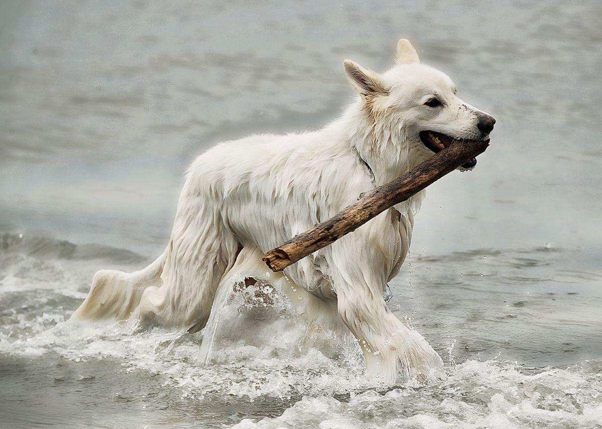 Vom Zauber Weisser Schaferhunde Weisser Schaferhund Schaferhunde Und Hunde