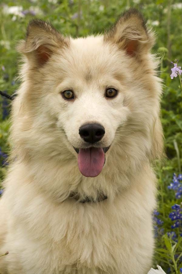 American Eskimo Husky Mix Puppies For Sale - Goldenacresdogs com