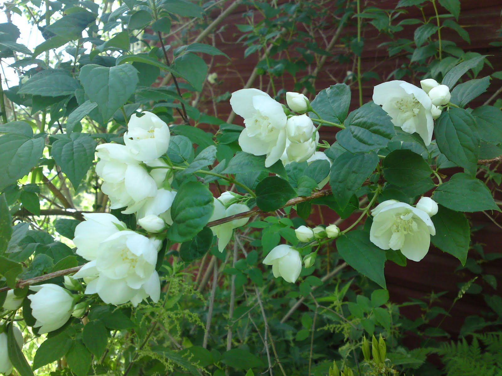 Arabian jasmine flowers pinterest dream garden flowers and arabian jasmine izmirmasajfo