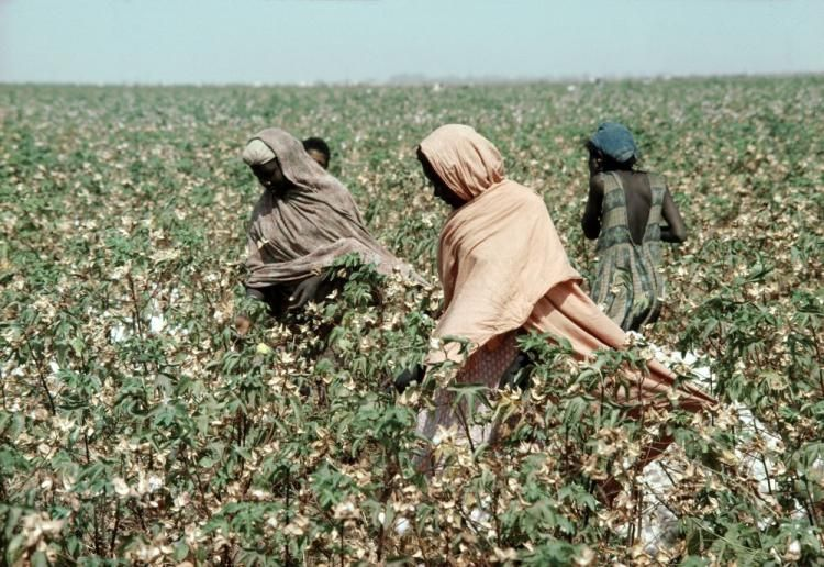 Migrant workers picking cotton in Sudan. Recent reports from human rights groups around International Migrants Day, on Dec. 18, paint a bleak picture for those seeking new lives in foreign lands.  (UN Photo/J Mohr)