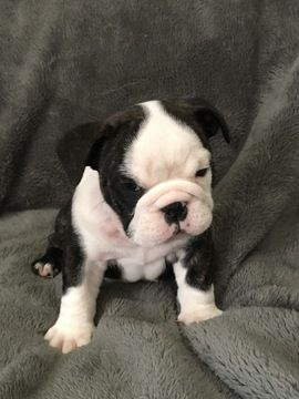 Litter Of 5 Bulldog Puppies For Sale In Swartz Creek Mi Adn