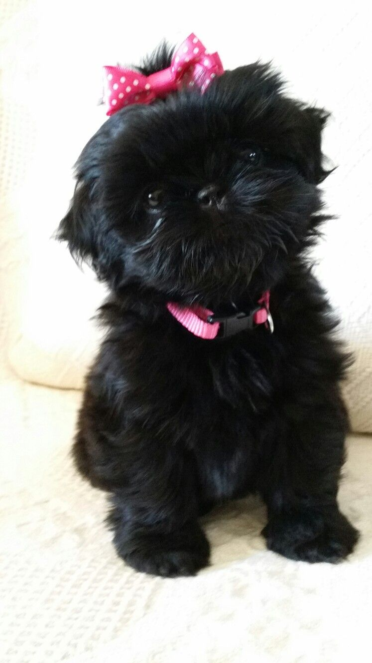 all black shih tzu shih tzu affectionate and playful animals dogs shih 6038