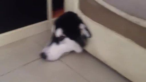 Harto de ver cómo su sillón destrozado, el dueño de este husky ha decido ponerle remedio tendiéndole una trampa infalible. - usuario platanito 679649