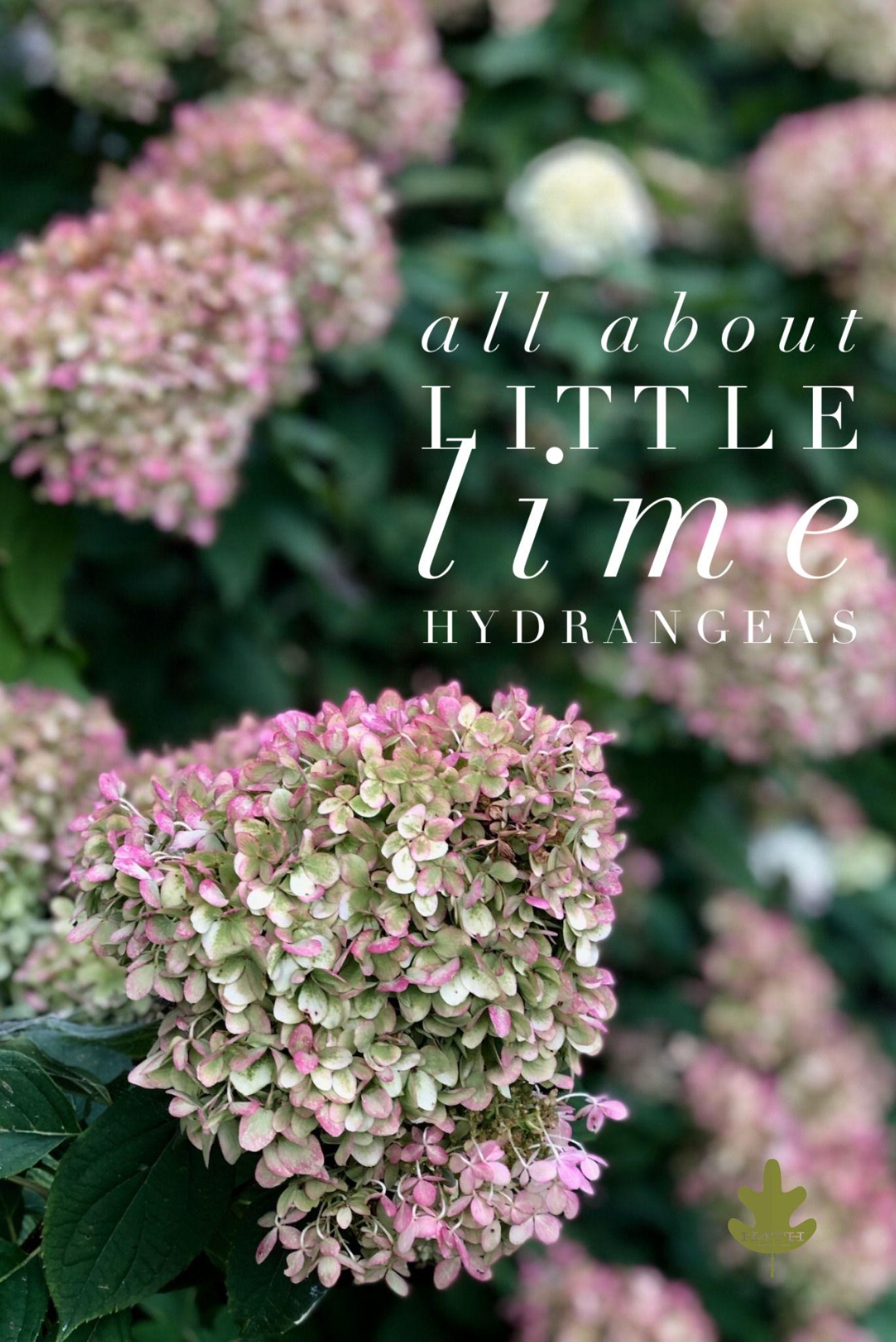 Little Lime Hydrangea Care A Gardener S Guide In 2020 Little Lime Hydrangea Hydrangea Landscaping Hydrangea Care