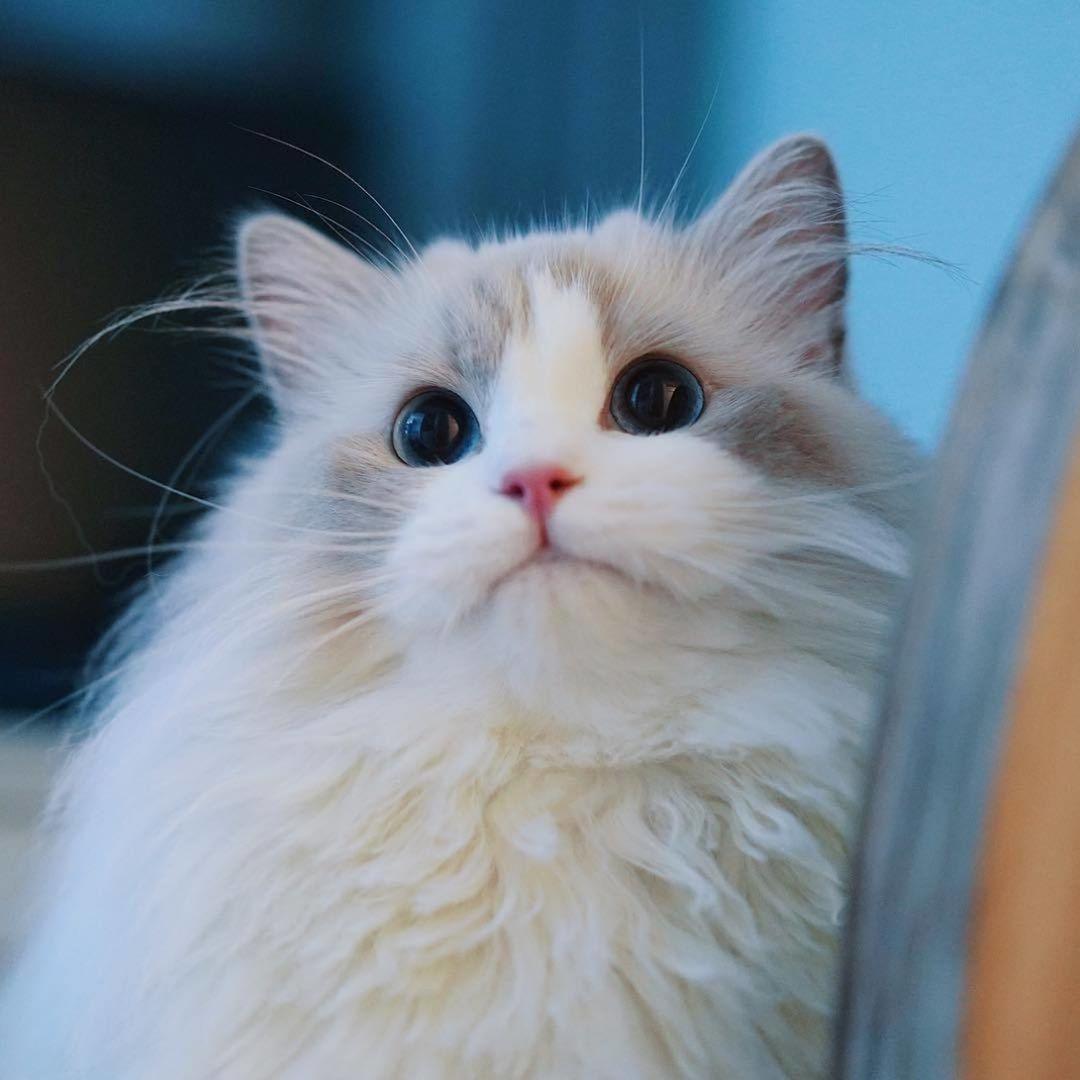 Ragdoll Cat Mobile Wallpaper Hd Free Download Gorgeous Cats