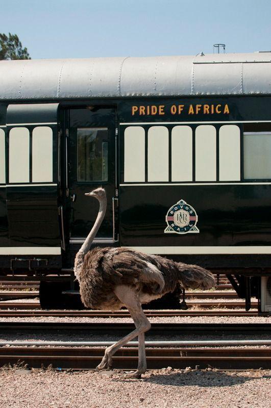 Ostrich, Rovos Rail, South Africa