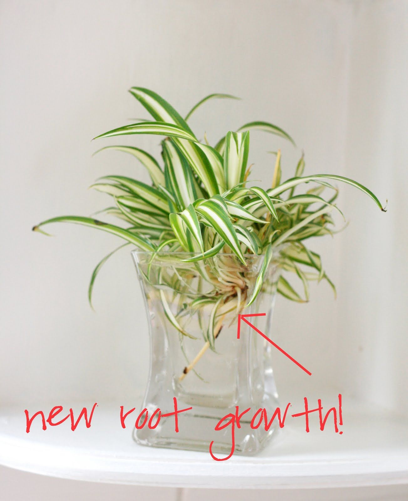 Growing A Spider Plant: DIY: Spider Plant Propagation. Place Offspring Shoot Into