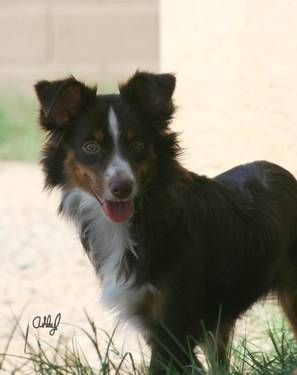 Dogs Puppies For Sale In Phoenix Ebay Classifieds Kijiji Page 1 Miniature Australian Shepherd Australian Shepherd Dogs And Puppies