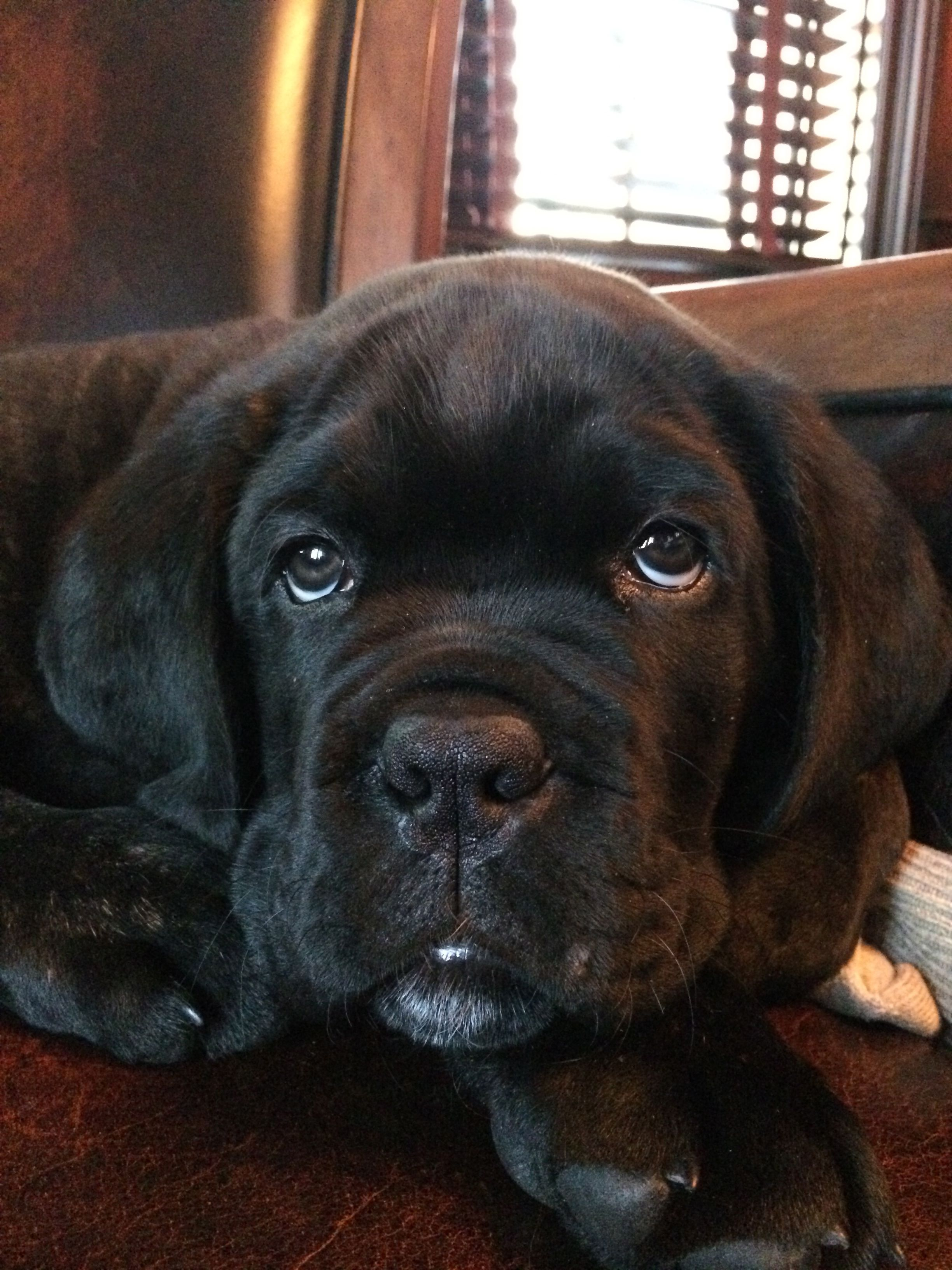 Cane Corso puppy 8 weeks