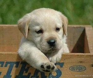 Blonde Labrador Pup Goldenacresdogs